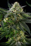 Cannabis flower detail (mangolope marijuana strain) with leaves