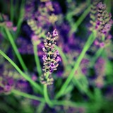 blossomed flower of lavender with effect