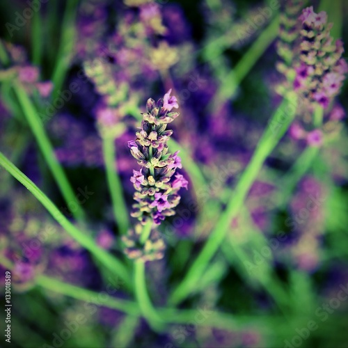 Poster blossomed flower of lavender with effect