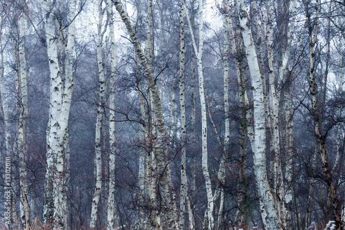 Dense Birch Woodland