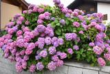 ortensia giardino orchidee giardinaggio primavera estate aiuola spettacolo fiorire