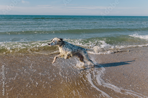 Poster beautiful white wet dog running among the sea waves