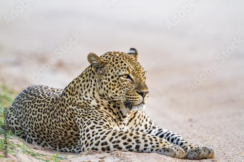 Poster Leopard in Yala national park, Sri Lanka