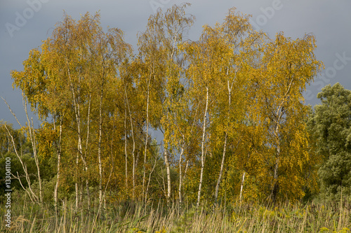Poster Birch trees