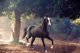 running marwari black stallion at freedom