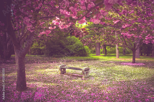 Foto Murales Beautiful garden bench surrounded by pink flowering cherry blossoms and petals at springtime.