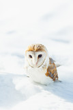 Owl sitting in the snow.