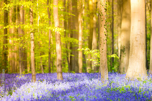 Foto op Aluminium Betoverde Bos Halle, enchanted forest of blue bells flowers near Bruxelles, Belgium