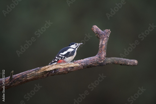 Poster Female great spotted woodpecker