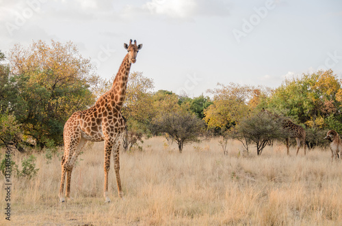 Poster Giraffe in the bushveld of Africa