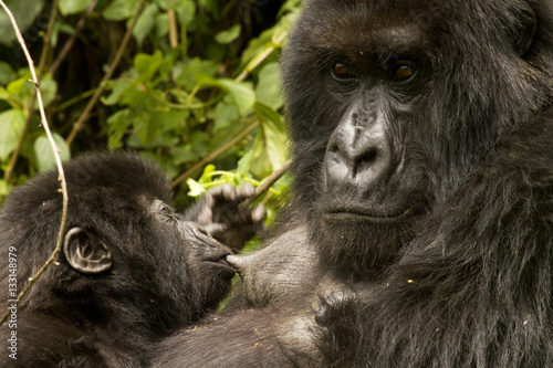 Poster Mountain Gorilla mother with young
