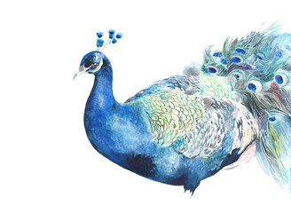 Peacock bird watercolor illustration isolated on white background