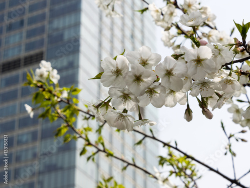 Poster Shanghai skyscraper with cherry blossoms