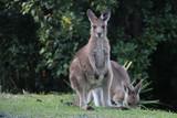 Stray Kangaroo