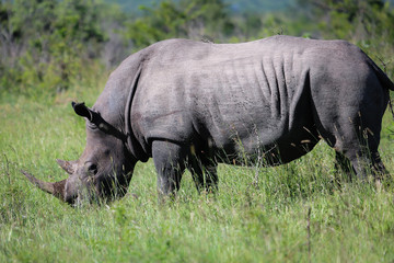 White rhino grazing in the savanna, Kruger National Park, South Africa