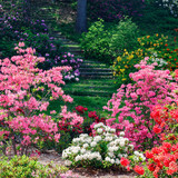 Azalea and rhododendron plants in the landscape.