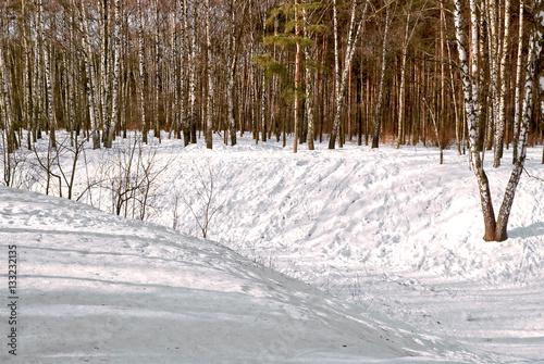 Birch grove in Sunny winter day