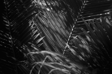 white and black abstract background of coconut leaf.