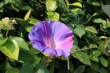 ノアサガオの花
