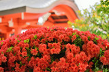 ツツジ flowering azalea, Japan