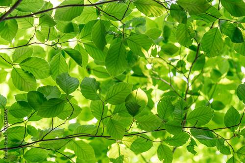 Fototapeta Green fresh leaves on a forest tree