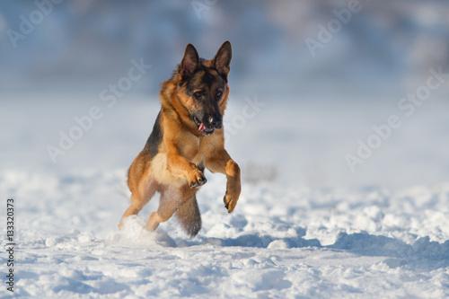 Poster German shepherd dog play in snow