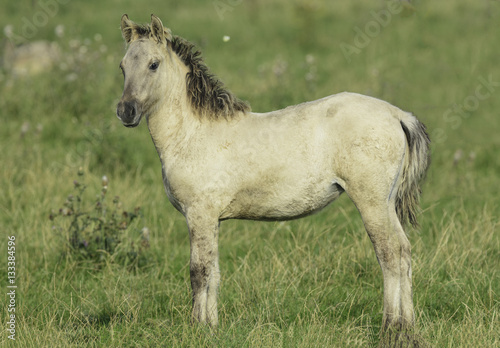 Papiers peints Nature Konik horse