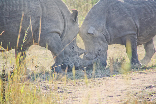 Poster Rhinoceros