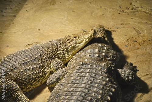Two Nile crocodiles (Crocodylus niloticus) lie together Poster