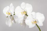 The branch of white orchid © Galina Mikhalishina