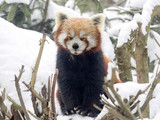 Red panda, Ailurus fulgens, reveling in the snow