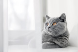 Noble proud cat lying on window sill. The British Shorthair