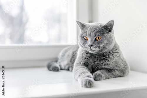 Poster Noble proud cat lying on window sill. The British Shorthair