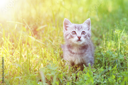 Poster Beautiful little cat in green grass, outdoors