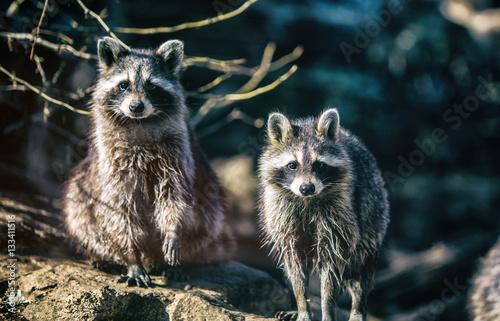 Poster Deux ratons laveurs vue de face