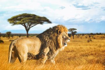 Lion de profil dans la savane © Warpedgalerie
