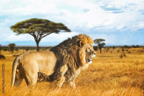 Lion de profil dans la savane - 133412770