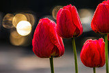 red tulips on dark background with bokeh