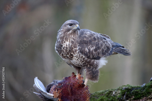 Poster Common buzzard, Buteo buteo