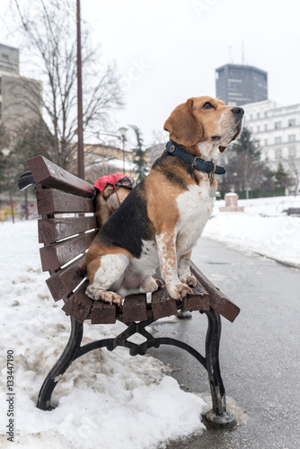 Poster Adult beagle on the bench