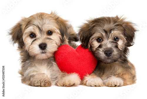 Poster Two lover Valentine Havanese puppies lie together with a red hea