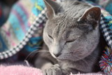 Russian Blue Cat in the blanket