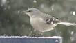 Northern Mockingbird (Mimus polyglottos) on a feeder in snow