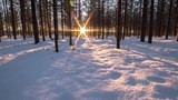 Winter Forest in Finland. Many Tall Trees Still Stand. on the Ground is Snow White, Which Shimmers in the Sun.