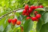 closeup of organic ripe cherries on tree in cherry orchard