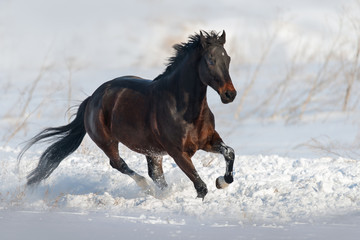Bay horse run gallop in snow field