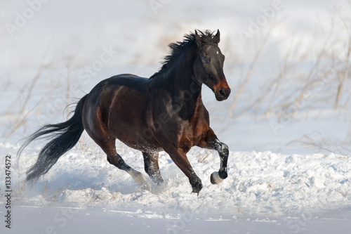 Poster Bay horse run gallop in snow field