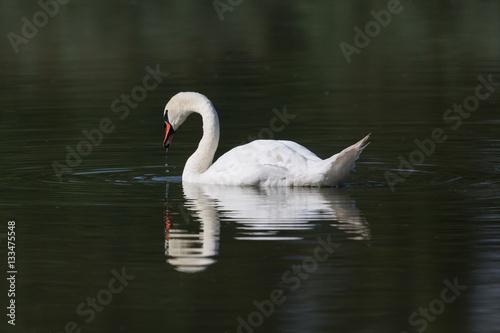 Fotobehang mirrored mute swan (Cygnus olor)