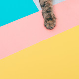 Fototapety furry paw of a cat lying on colored backgrounds with negative space. minimal.