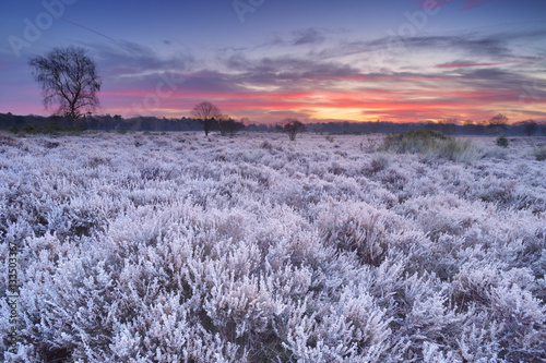 Keuken foto achterwand Lavendel Frosted heather at sunrise in winter in The Netherlands